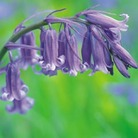 Bluebells- 25 bulbs