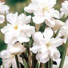 Autumn Bulbs-Narcissus Poeticus -15 bulbs