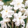 Narcissus Poeticus - 10+5 Free bulbs