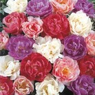 Tulip French Lace - 12 bulbs