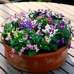 Viola Miracle Mixed-10 plug plants