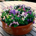 Viola Miracle Mixed-10 plug plants