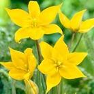 Tulip Sylvestris - 30 bulbs
