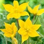 Tulip Sylvestris - 30 bulbs