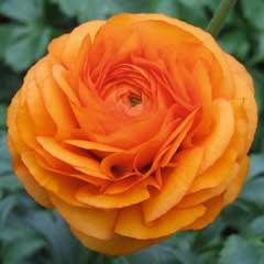 Ranunculus Clemintine -10+5 Free corms