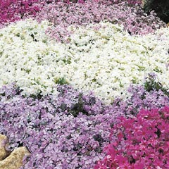 Creeping Phlox Collection - 10 plug plants