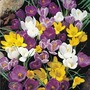 Crocus - 150 bulbs