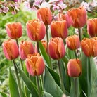 Tulip Brown Sugar - 8 bulbs