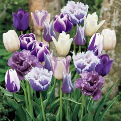 Autumn Bulbs-Tulip Purple Passion Blend - 36 bulbs