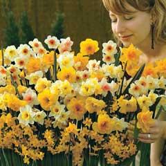 Narcissus Sweet Aroma - 25 bulbs