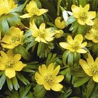 Autumn Bulbs-Aconite x 48
