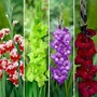 Gladioli Collection - 80 Corms