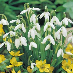 Snowdrops - 75 bulbs