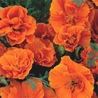 Flower Seeds - California Poppy - Eschscholzia - Rosebud Orange