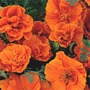 Flower Seeds - California Poppy - Eschscholzia - Rosebud Orange