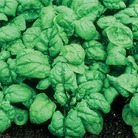 Heritage Seed Colletion - Spinach Bloomsdale