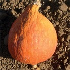 Heritage Seed Collection - Squash Golden Hubbard