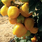 Heritage Seed Collection - Tomato Yellow Stuffer