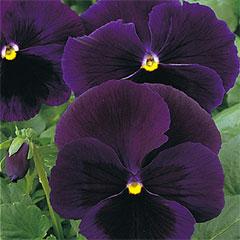 Pansy Bingo Deep Purple Seeds