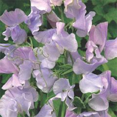 Flower Seeds - Sweet Pea-Ballerina Blue