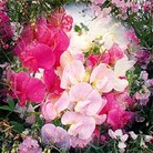 Flower Seeds -Sweet Pea Everlasting  Mixed
