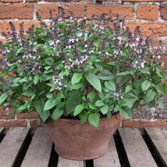 Herb Seeds - Basil Christmas