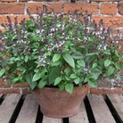 Herb Seeds - Basil Christmas