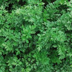 Herb Seeds - Parsley Laura