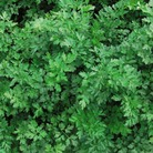 Herb Seeds - Parsley Laura