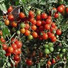 Fruit Seeds -Tomato Sweet Baby
