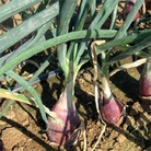 Heritage Seed Collection - Onion Rouge Long De Florence