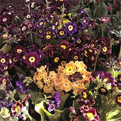 Flower Seeds - Primula Douglas Auricula