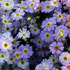 Flower Seeds - Brachycome Little Missy