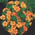 Nasturtium Double Delight Apricot  Seeds