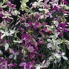 Flower Seeds-Stocks Starlight Sensation