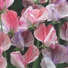Flower Seeds - Sweet Pea Statesman Mixed