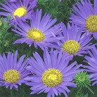 Flower Seeds - Annual Autumn Aster