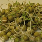 Sprouting Seeds - Green Peas