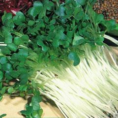 Sprouting Seeds - Radish