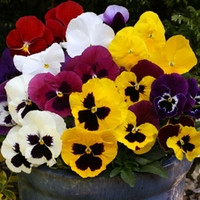 Pansy Galore 100 Plants + 60 FREE