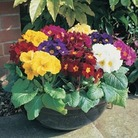 Polyanthus High Seas 100 Plants + 60 FREE