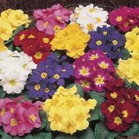 Primrose Valiant 100 Plants + 60 FREE