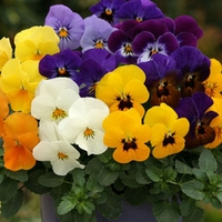Viola Itsy Bitsy 100 Plants + 60 FREE