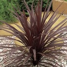 Cordyline Red Star 1 Plant 9cm Pot