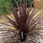 Cordyline Red Star 1 Plant 9cm Pot