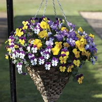 Pansy Cascadia (Trailing) 50 Plants + 20 FREE