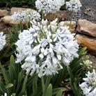 Agapanthus Queen Mum 1 Plant 9cm Pot