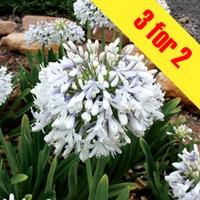 Agapanthus Queen Mum 3 Plants 9cm Pot