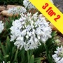 Agapanthus Queen Mum 3 Plants 9cm Pot