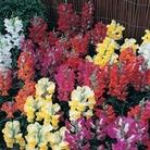 Antirrhinum Karma 100 Plants + 60 FREE